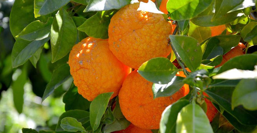mandarin zsírvesztés)